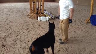 كلب مدرب  بشكل رهيب !