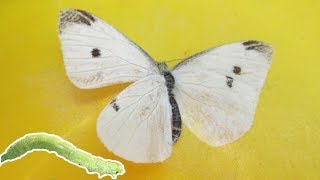 Eliminate Cabbage Worm & Cabbage Butterfly In The Garden | Organic Pest Control | Pieris rapae