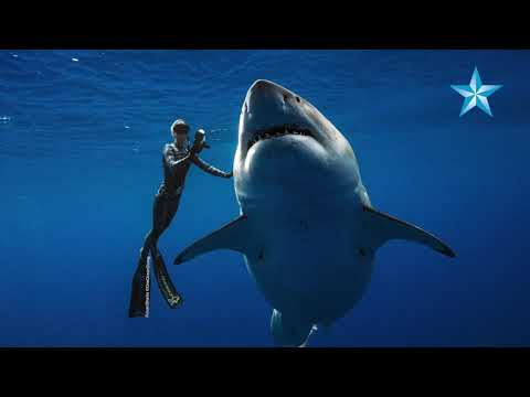 Xxx Mp4 Giant Great White Shark Thrills Divers Off Oahu 3gp Sex
