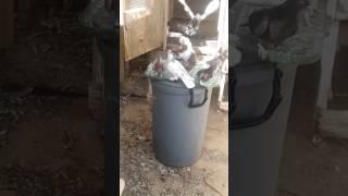 Roller pigeons 2017