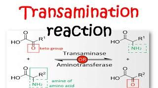 Transamination reaction mechanism