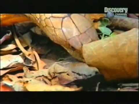 Kral Kobra Piton Yılanını Böyle Yutuyor
