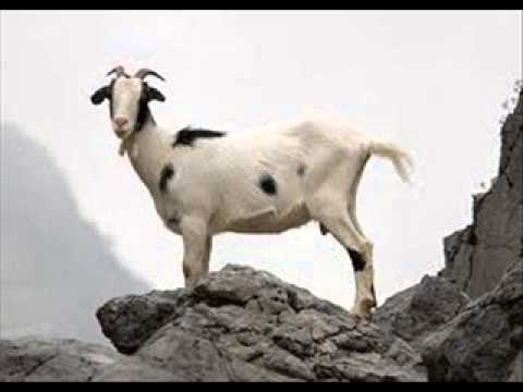 El Chivi-La puta de la cabra