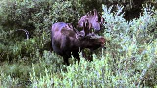 Bull Moose Foraging At Rocky Mountain National Park, CO  08/05/2013