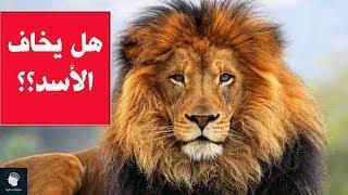 ما هو الحيوان الذي يخاف منه الأسد ؟؟ حقائق غريبة وممتعة لا تعرفونها عن الأسود ..!!
