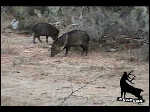 Rancho El Nido Caceria De Jabali Con Arco 20 02 2010