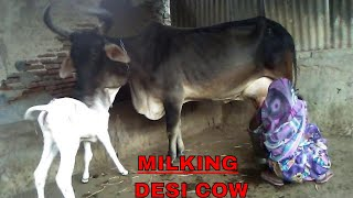 How to milking the cow Young woman full lenth video.