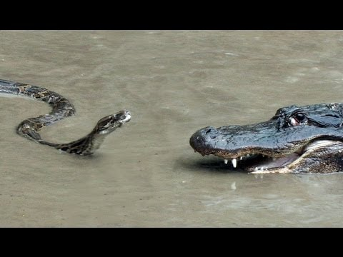 Python vs Alligator 01 Real Fight Python attacks Alligator
