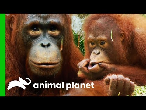 🔴Baby Orangutans Play Fights And Bonding Over Food Sacks Orangutan Island