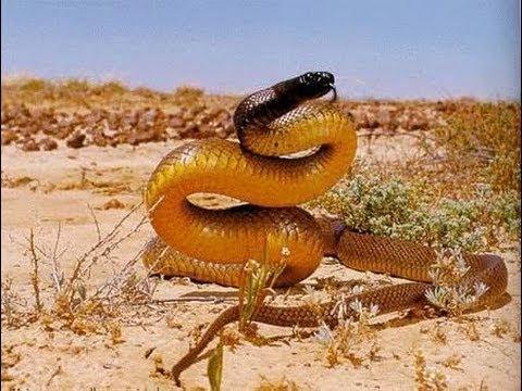 LA SERPIENTE MAS VENENOSA DEL MUNDO. La serpiente de Taipan. Desiertos de Australia