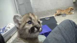 Rescued cougar orphans