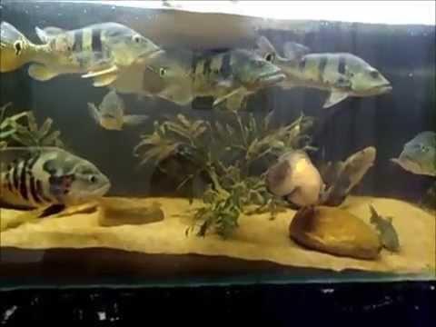 Tanque predadores 1400L amazônicos