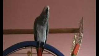 kaneo the non stop talking parrot