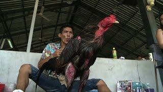 Le combat de coqs, une tradition bien vivante en Thaïlande