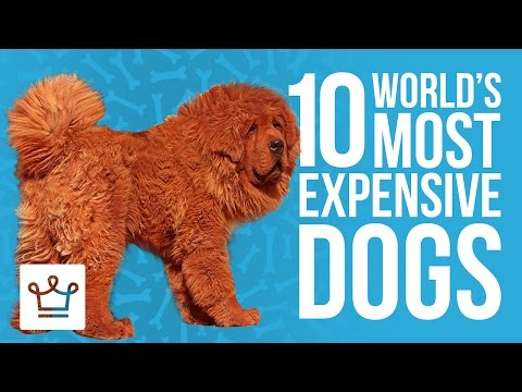 Top 10 Most Expensive Dogs In
