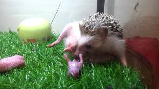 Hedgehog giving birth