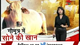 News @ 6 : Cow urine can give gold