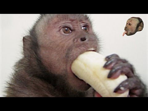 Xxx Mp4 Capuchin Monkey Mushy Banana 3gp Sex