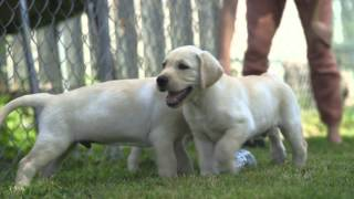 Puppies testing their future working dog skills