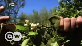 صناعة ماء الزهر مهددة بالاندثار في تونس   الأخبار