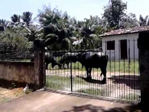 Briga de Búfalos em Joanes Marajó
