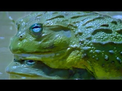 Xxx Mp4 Explosive Sex Of The African Bullfrog Battle Of The Sexes In The Animal World BBC Earth BBC 3gp Sex