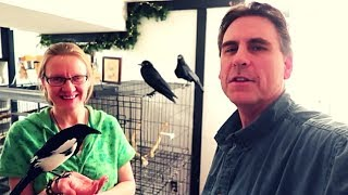 Having Fun With Our Pet Crows And Magpie