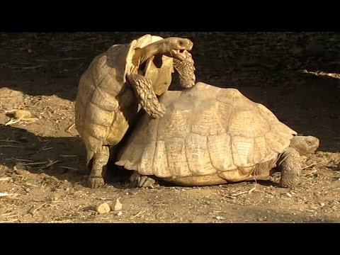 Xxx Mp4 Turtles Having Sex Get Interrupted In San Diego Zoo 3gp Sex