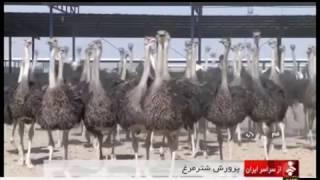 Iran Ostrich farming & Egg handling, Qom province پرورش شترمرغ و تخم شترمرغ قم ايران
