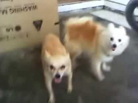 Anjing Kawin Kepo