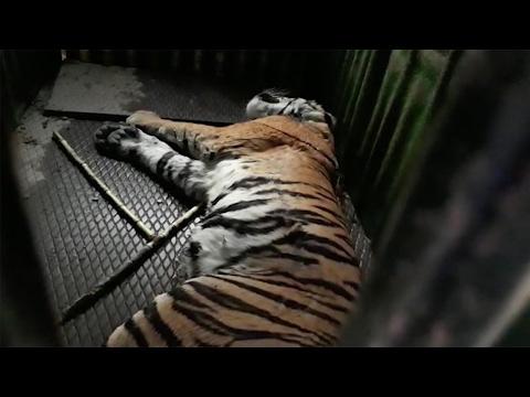 Xxx Mp4 Watch Indian Rangers Capture Man Eating Tiger 3gp Sex