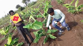 Sumitomo chemical Hoshi and Progibb Easy Good result in Banana crop