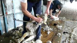 Tonte d'un agneau