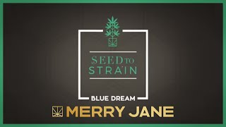 Seed to Strain: Blue Dream