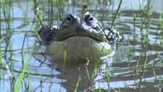 BBC Life African Bull Frog Fight -Sir David Attenborough