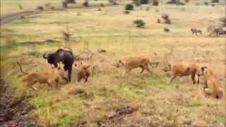 bufffalo strike back lion to reseue