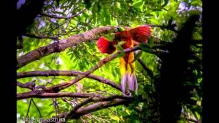 Bird of Paradise at Cenderawasih West Papua Indonesia 2014 on Panunee