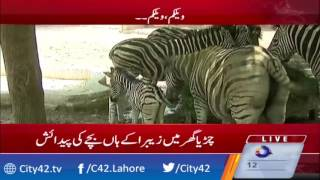 Childbirth of Zebra in Lahore Zoo