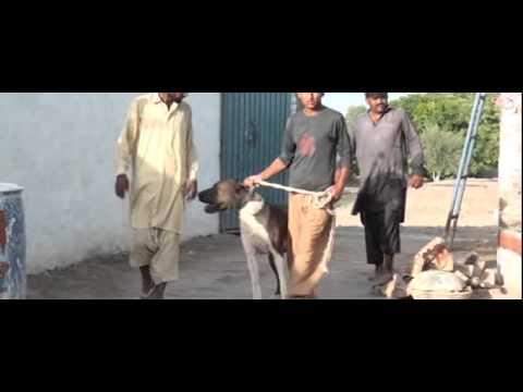 DERA Sabir Hussain Lumbrdar Gujjar Pind 217GB Samundri Faisalabad mpeg4