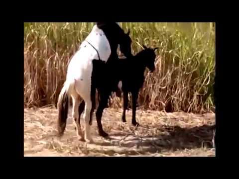 Xxx Mp4 Animals Having Sex Breeding Reproducing Caballos Calientes Horses Mating Best Funny Animals 2014 B 3gp Sex