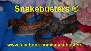 Bed of Death, deadly snakes have babies in kids bed under pillow!