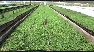 Cultivo de Crisantemos Para San Valentín- TvAgro por Juan Gonzalo Angel