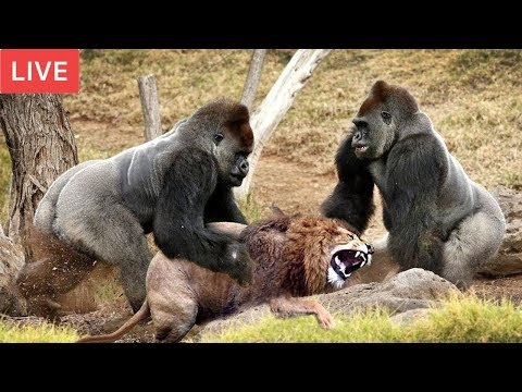Xxx Mp4 LIVE Gorilla Attack Lion Save Team Moments Of Animal Fight Battle Wild Animal Planet 2018 3gp Sex