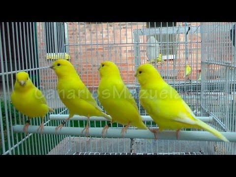 Canarios lipocromo amarillos intensos 2013