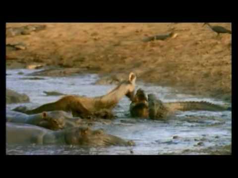 Lion Crocodile attack