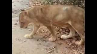 Nandankanan White Tiger Safari, Lion Safari and Bear Safari - Orissa Tourism Video