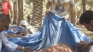 حصاد التمر (موسم الصرام ) | مزارع الأحساء