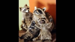 Beautiful teamwork by a raccoon mother and her babies!| Whatsapp videos| Love of animals