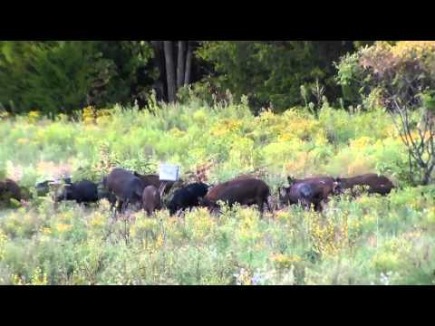 Hog Control with Tannerite