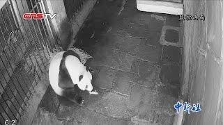 熊猫生产双胞胎过程罕见视频 / Rare video: mother giant panda gives birth to twin babies